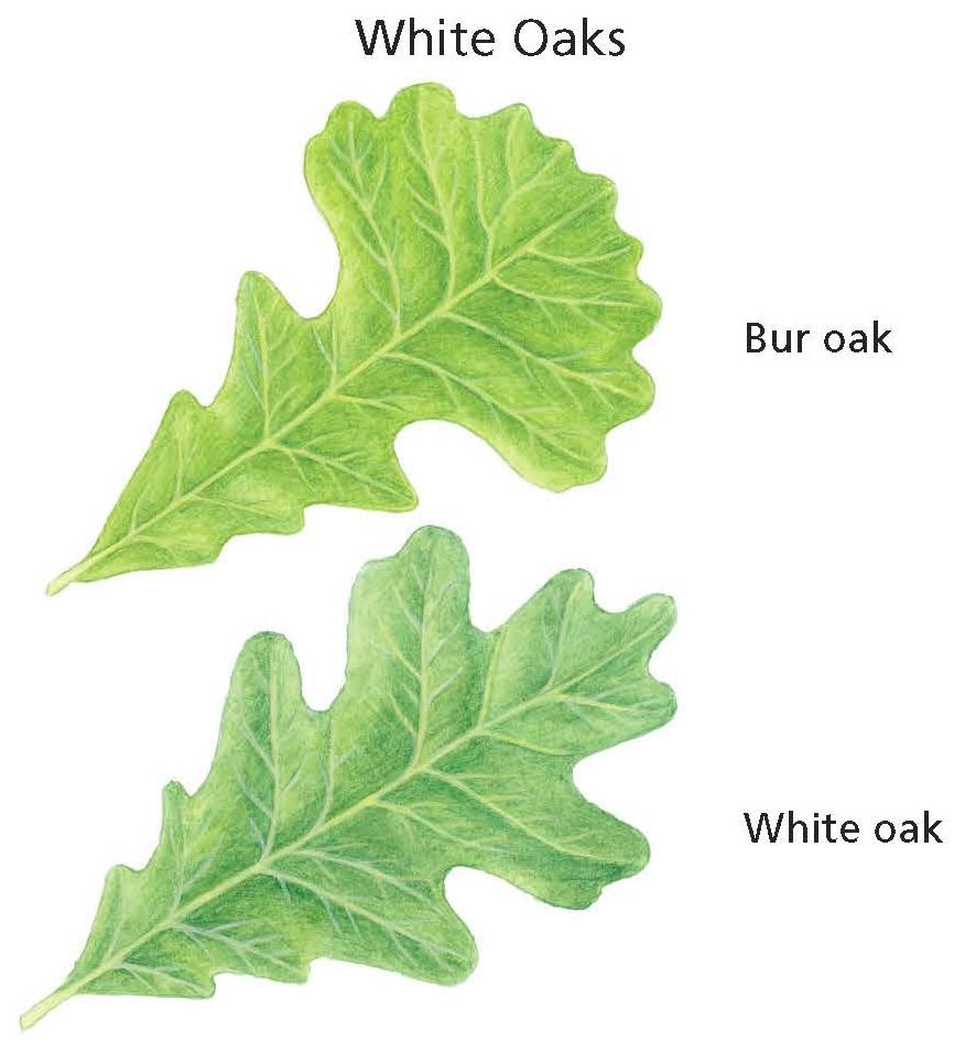 White Oak Leaves